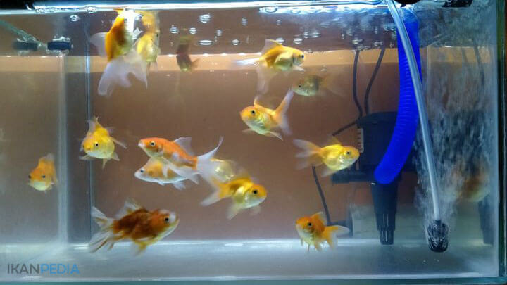 Penyakit Pada Ikan Mas Koki