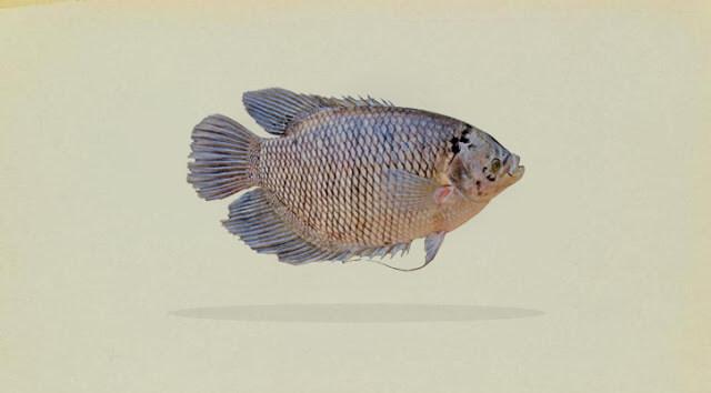 klasifikasi ikan gurami