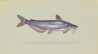 Klasifikasi dan Morfologi Ikan Lele (Clarias sp)
