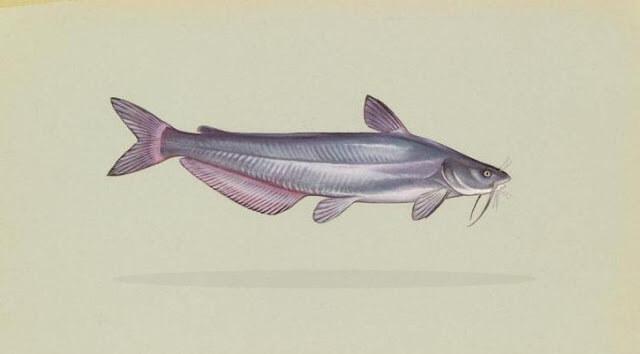Klasifikasi Ikan Lele
