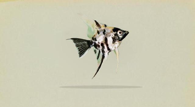 Klasifikasi Ikan Manfish