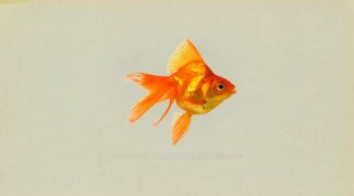 Klasifikasi dan Morfologi Ikan Mas Koki