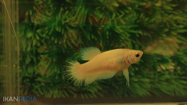 Manfaat Daun Ketapang Untuk Ikan Cupang