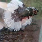 Memanjangkan Ekor Ikan Cupang