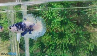 Mencerahkan Warna Ikan Cupang Menjadi lebih Cantik