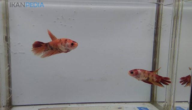 Menyatukan Ikan Cupang