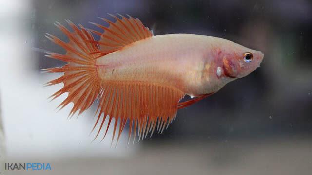 Mengobati Sirip dan Ekor Ikan Cupang