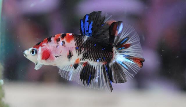 Klasifikasi Ikan Cupang