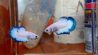 5 Perbedaan Ikan Cupang Jantan dan Betina