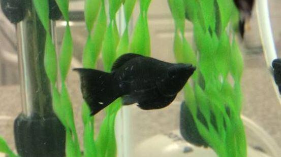 Black Baloon Molly