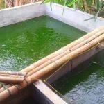 Menumbuhkan Plankton Pada Kolam Budidaya