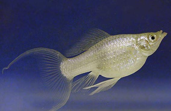Platinum Lyretail Molly