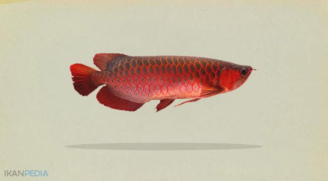Klasifikasi Ikan Arwana