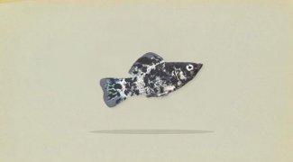 Mengenal Lebih Dekat Ikan Molly (Poecilia Sphenops)