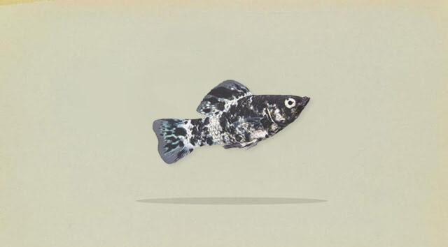 Klasifikasi ikan molly