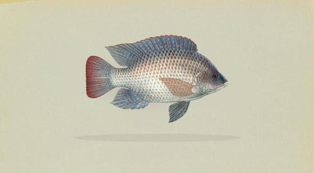 Klasifikasi Ikan Nila