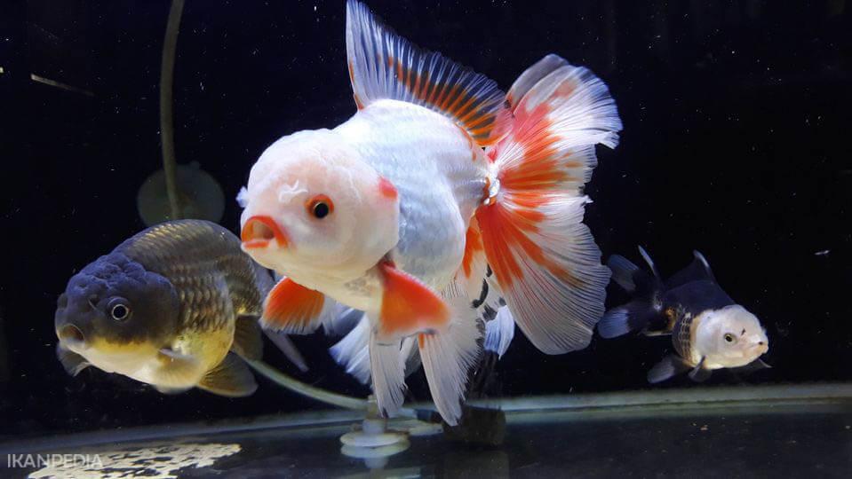 Mencerahkan Warna Ikan Mas Koki