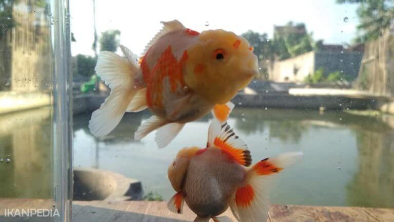 Mengatasi kutu ikan Mas Koki