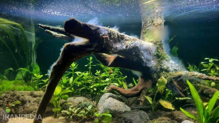 Kayu Aquascape Berlendir