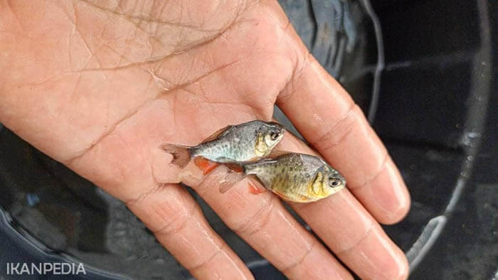 Benih Ikan Bawal