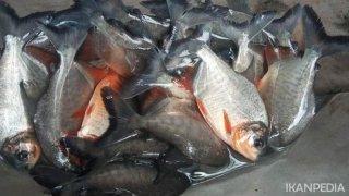 Panduan Budidaya Ikan Bawal Air Tawar
