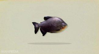 Klasifikasi dan Morfologi Ikan Bawal (Colossoma macropum)