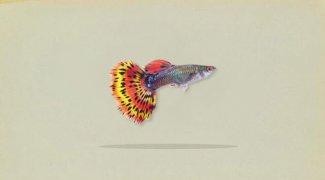 Mengenal Ikan Guppy atau Gapi Lebih Dekat