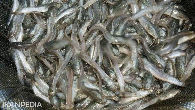 Menghitung FCR Ikan Budidaya