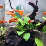 usia ikan guppy