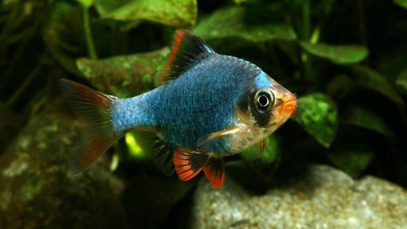 Ikan Sumatra Hijau