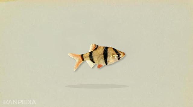 ikan sumatra