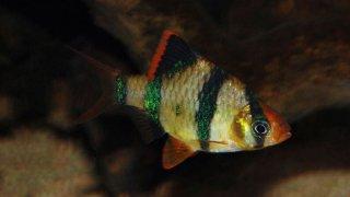 Panduan Budidaya Ikan Sumatra Lengkap