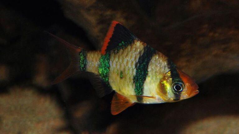 ikan sumatra biasa
