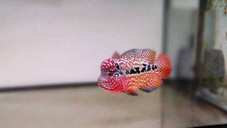 Ciri-Ciri Anak Ikan Louhan Yang Berkualitas